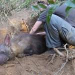 Гиена попала в капкан и родила щенят