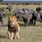 Лев убегает от буйволов